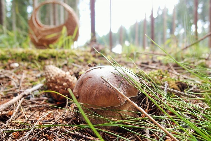 Houbaření přímo v lese u chaty / Mushrooming (100 m)